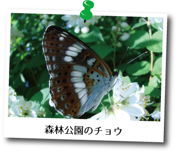 森林公園のチョウ